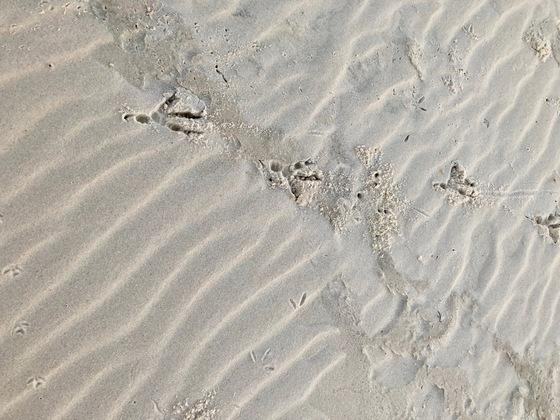 Sea bird's tracks