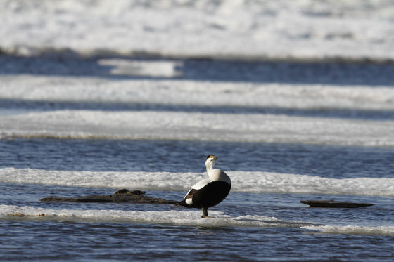 Male eider duck showing off his colours while standing on ice floating around in cold icy water