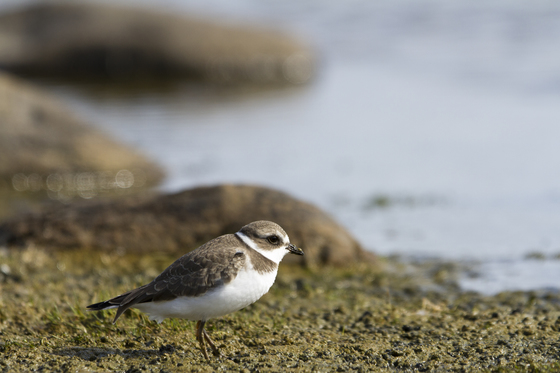 Young adult Semipalmated Plover standing on a marshy shoreline near Arviat