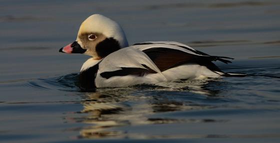Longtail Duck  Male