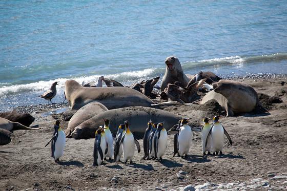 The King penguins got through