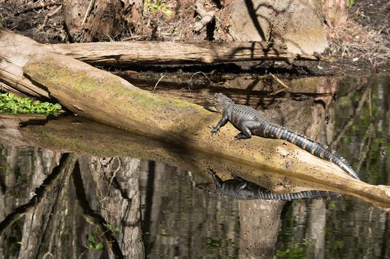 Alligator sunbathing on a warm winter day