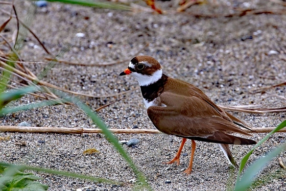 Plover Looking for Cover