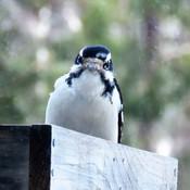 Pic Chevelu ( Hairy woodpecker )