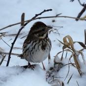 Bruant Chanteur ' Song Sparrow'