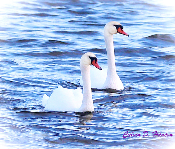 Swans Have Come Back >> Photos The Weather Network