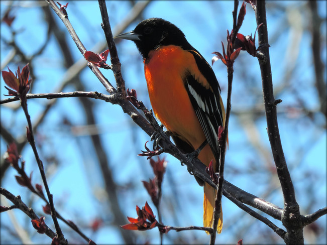 ~ the Oriole's are back ~ Owen Sound, ON