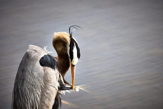 Great Blue heron preening.