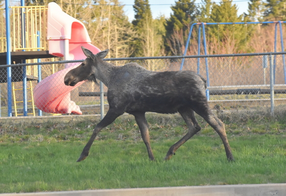 moose on Main Street