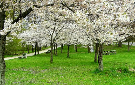 High Park Cherry Blossoms