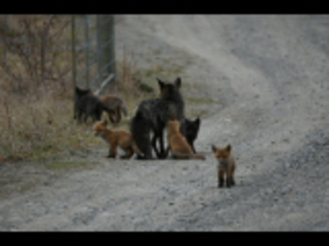 Mamma red fox with her 6 playful kits Whitehorse, Yukon, CA