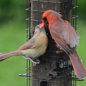 Couple cardinal