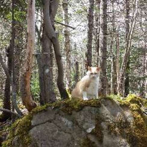 Cougar Kat reverts to his primodial instincts when he enters the deep woods Sydney, Nova Scotia