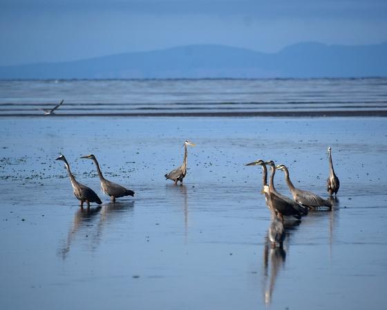 A herd of Herons!
