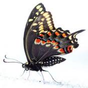 Majestueux papillon