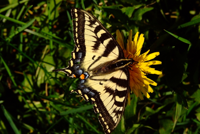 Swallowtail Butterfly Leduc, AB
