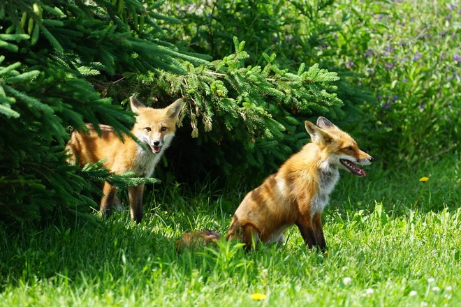 Young Foxes Live Among Community Members in Oakville, Ontario Oakville, ON