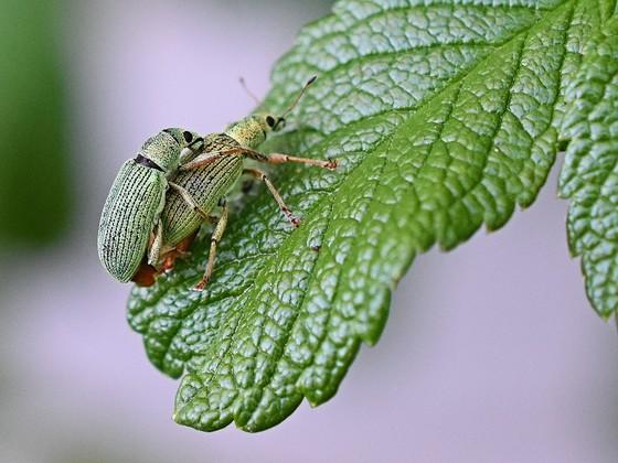 Emerald Green Weevils