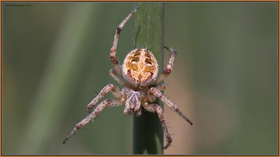 Cross Orb-Weaver Spider