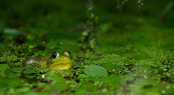 Charleston Lake Frog