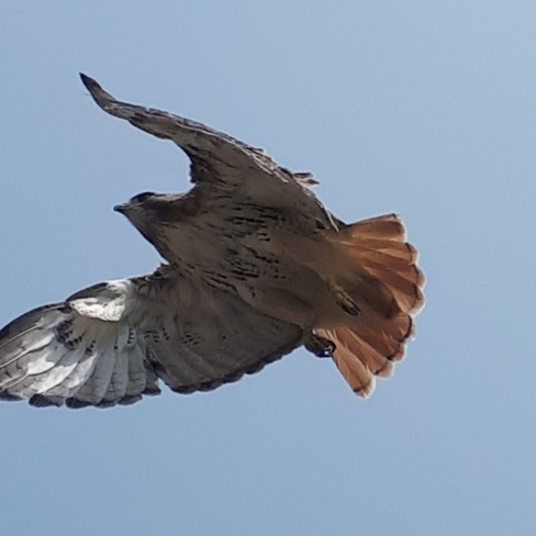 Red tailed hawk hunting while im working Mississauga, ON