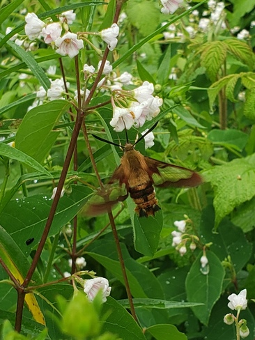 Hummingbird Moth Redbridge, ON