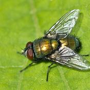 Lucilia caesar (mouche dorée)