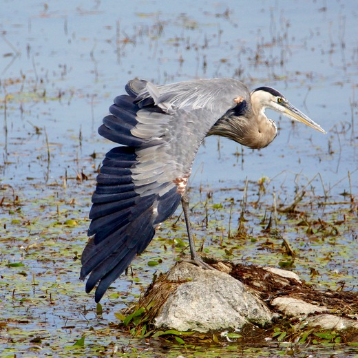Great Blue Heron Stretching