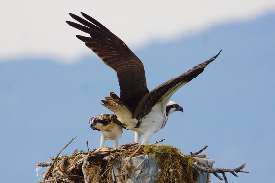 Osprey Look out
