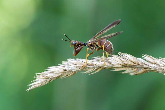 Macro shot of a mantidfly.