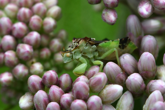 Macro shot of a tiny ambush bug.