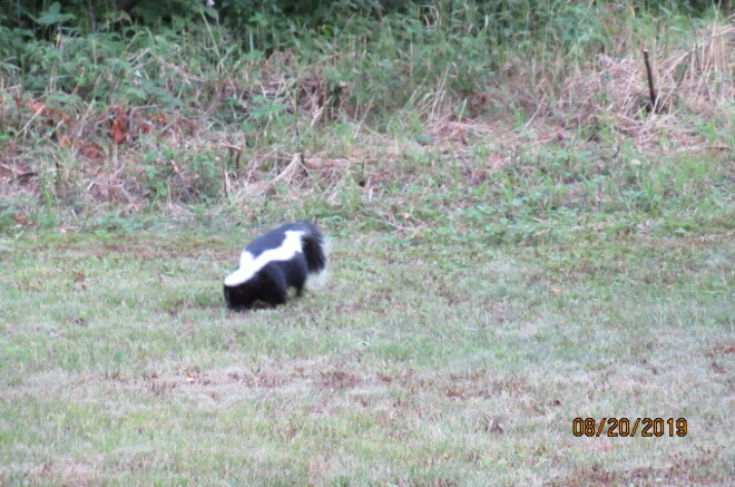 Skunk Looking For Grubs Kenabeek ON.