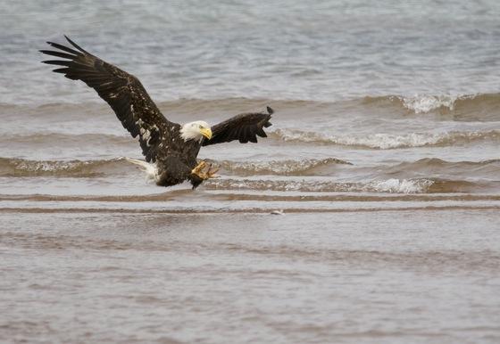 Bald Eagle fishing in North Rustico