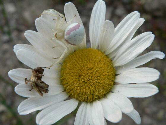 Golden-rod Crab Spider