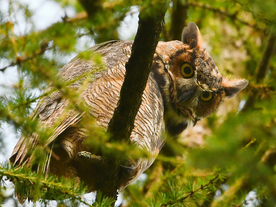 Backyard Forest Owl Family