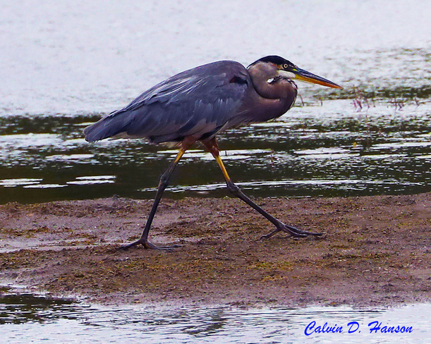 Great Blue Heron South Stormont, ON