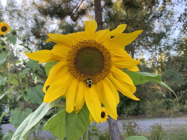 a bee...a sunflower...a day Lake Nipissing, Big Bay, Nipissing Indian Reserve No. 10, Sturgeon Falls, ON