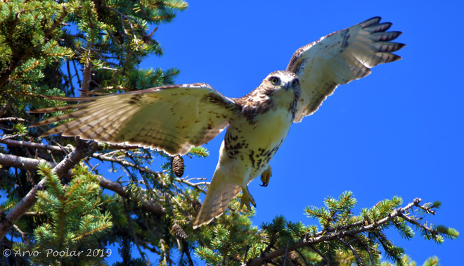 Red Tailed Hawk Rosetta McClain Gardens, Glen Everest Road, Scarborough, ON