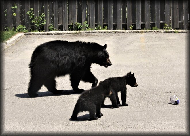 Three bears came a-calling. Timmins, ON