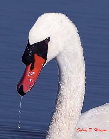 Macro view of a male Mute Swan South Stormont, ON