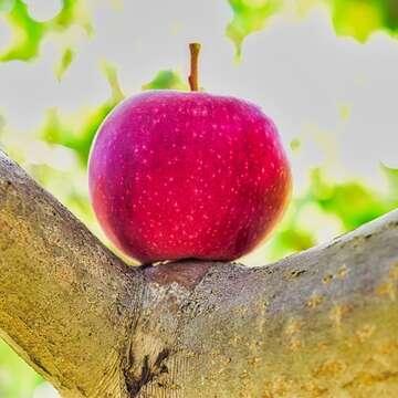 Temps des pommes
