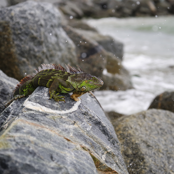 Green Iguana basking on coastal rocks