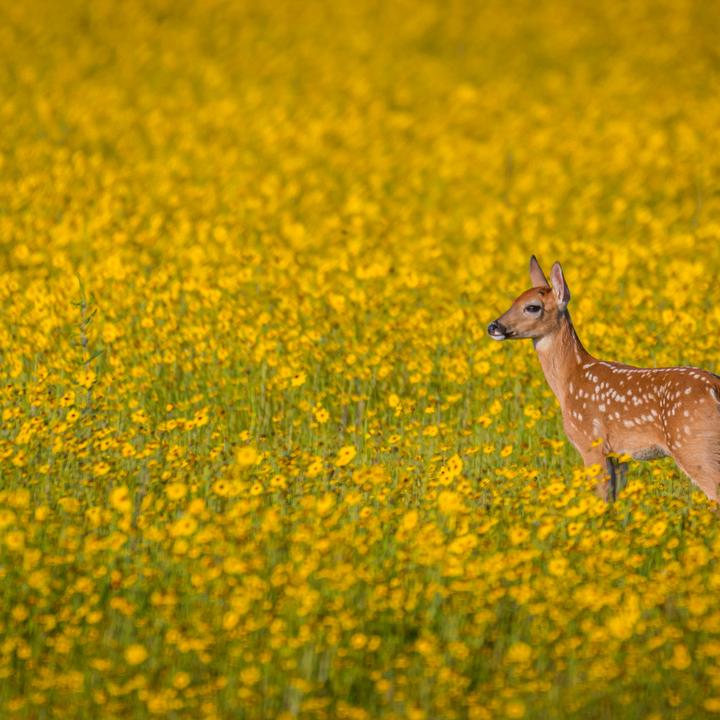 Deer fawn in field of flowers
