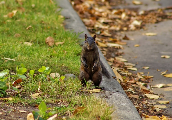 Black Squirrel Standing Tall