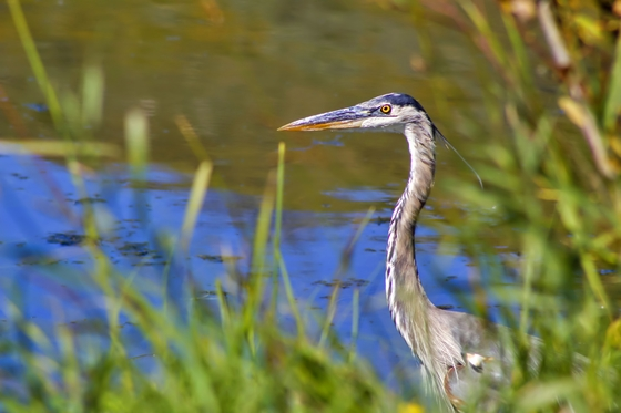 Blue Heron By The Water