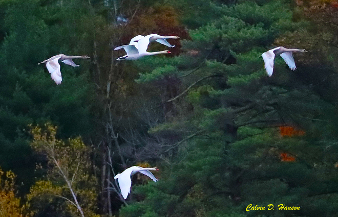 Mute Swans flying this morning South Stormont, ON
