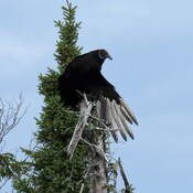Urburu Noir *** (Black Vulture )