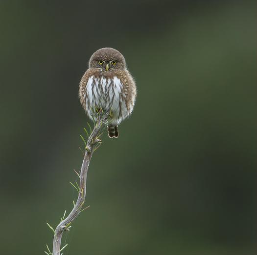 Northern Pygmy Owl glare