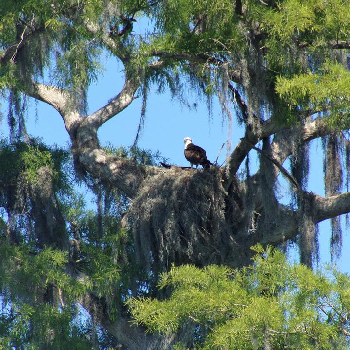 Osprey Nesting in Huge Oak
