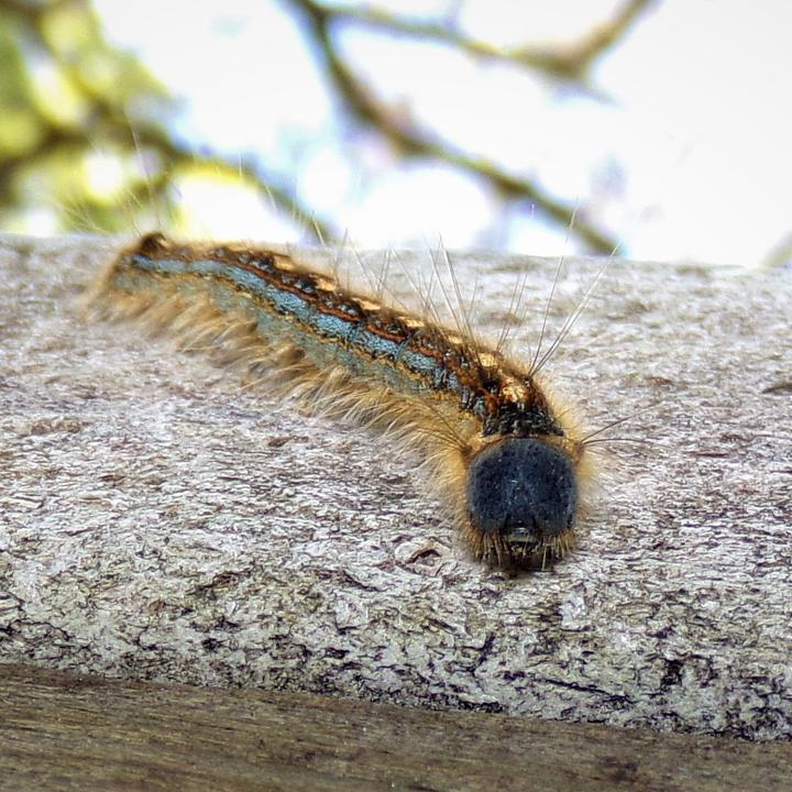 Malacosoma americanum: The Forest Eastern Tent Caterpillar?